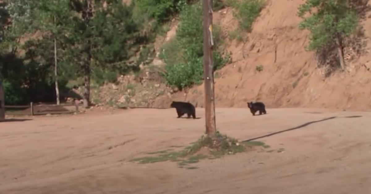 two black bears roaming in rural colorado
