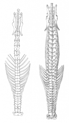 The spinal structure of a white-toothed shrew (right) compared to the hero shrew (left)