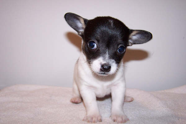 chihuahuapuppy1