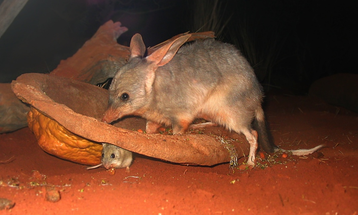 A bilby (Macrotis lagotis - large animal) and a Spinifex hopping mouse (Notomys alexis - small animal) at Sydney Wildlife World, a zoo in Sydney.